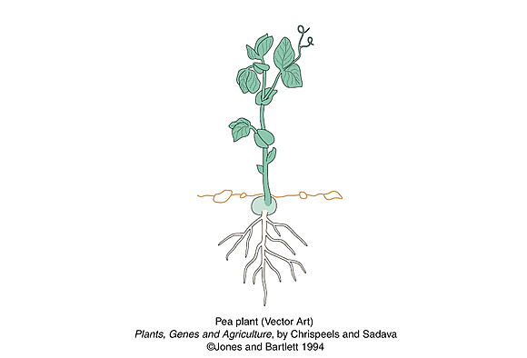 vector art drawing of pea plant